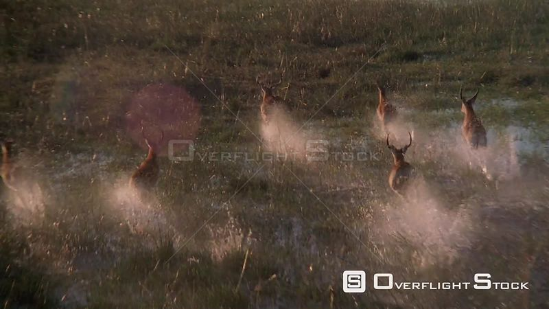 Slow motion aerial antelopes running through flooded plains Okavango Delta Zimbabwe