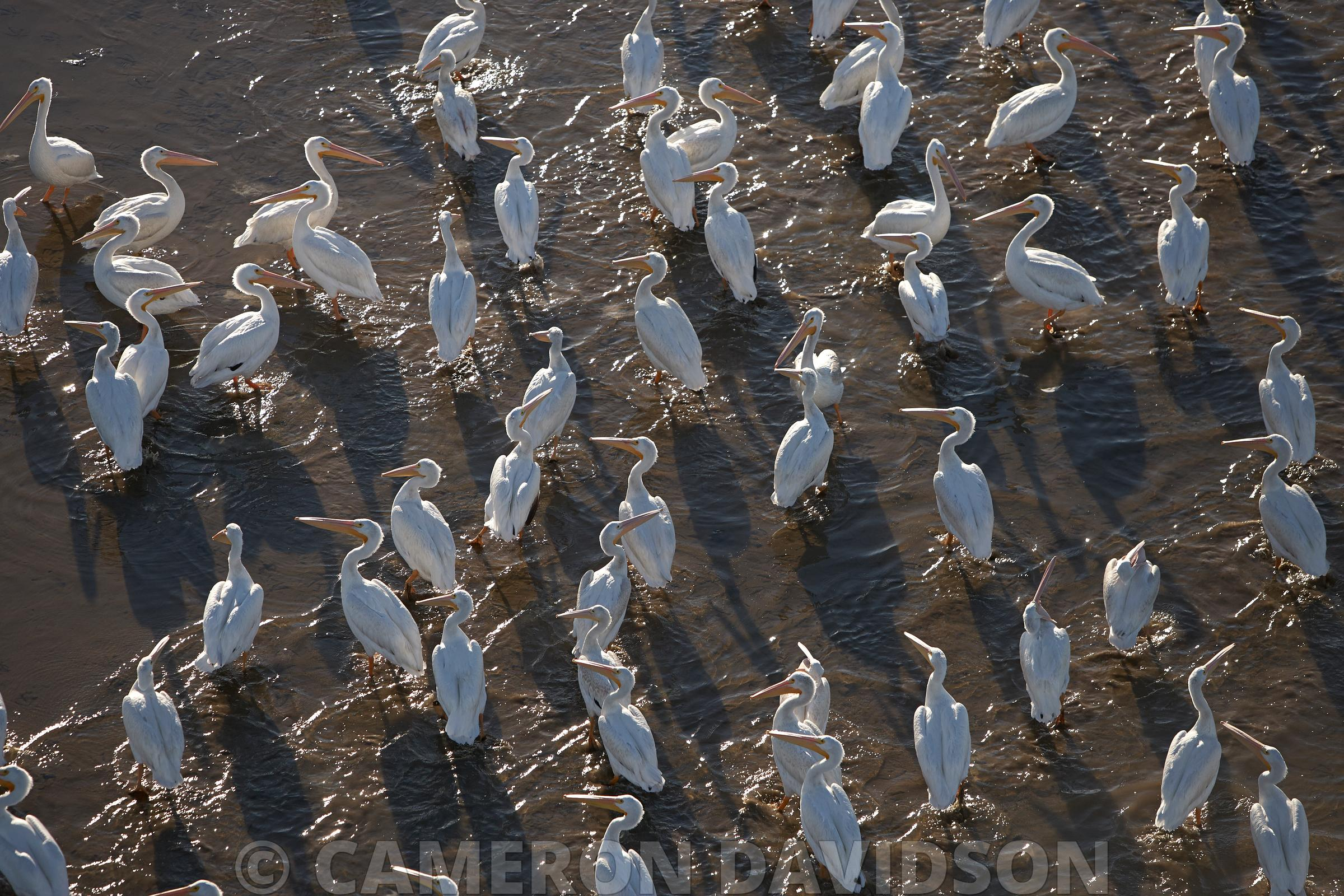Aerial Photograph of Pelicans in the Atchafalaya Delta State Wildlife Management area