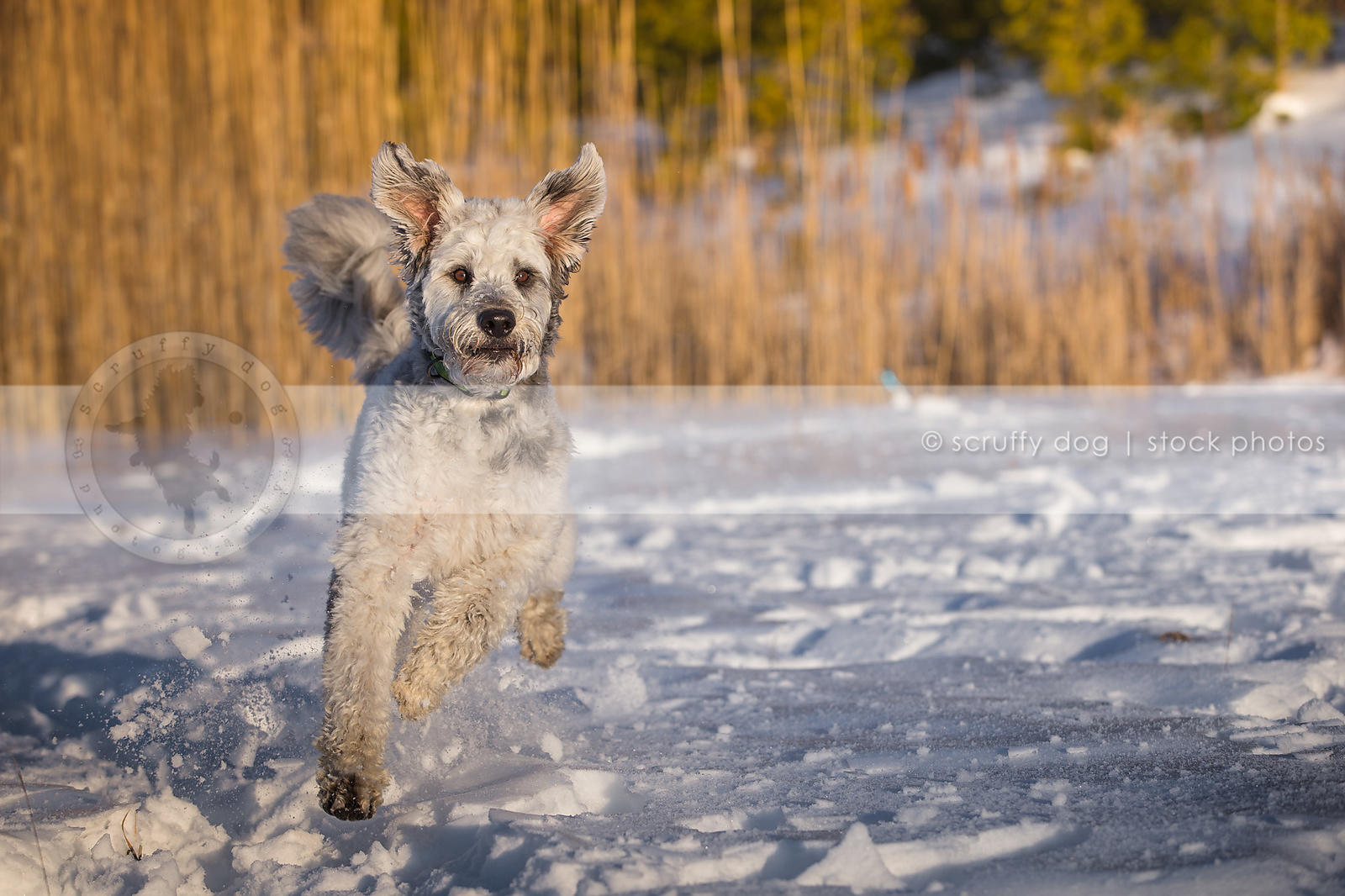 Stock Photo airborn silver and white doodle dog with ears