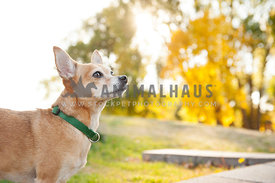 close up fawn colored chihuahua in the autumn during sunset looking to the right