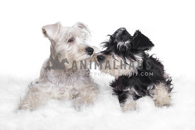 two Miniature Schnauzer puppies almost kissing on white background