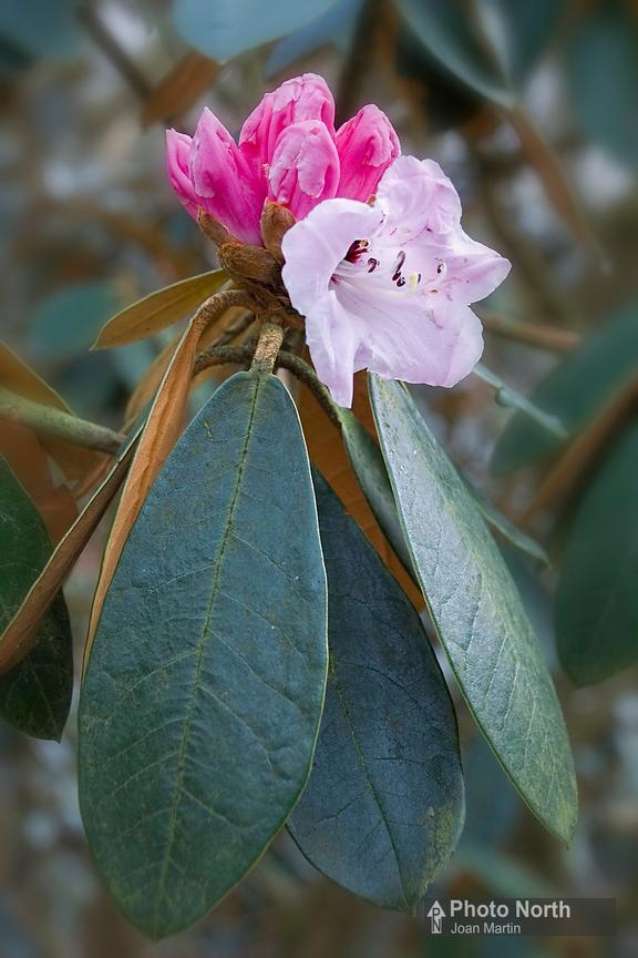 RHODODENDRON 01A - Rhododendron