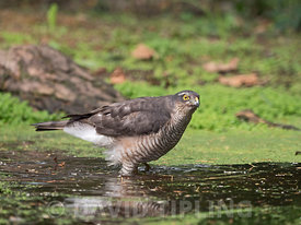 Eurasian Sparrowhawk Accipiter nisus female bathing in woodland pool Norfolk summer