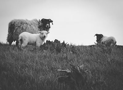 Roscommon_-_Sheep