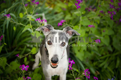 whippet smiling in purple flowers