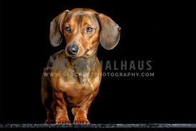 Red Miniature Dachshund in studio on table