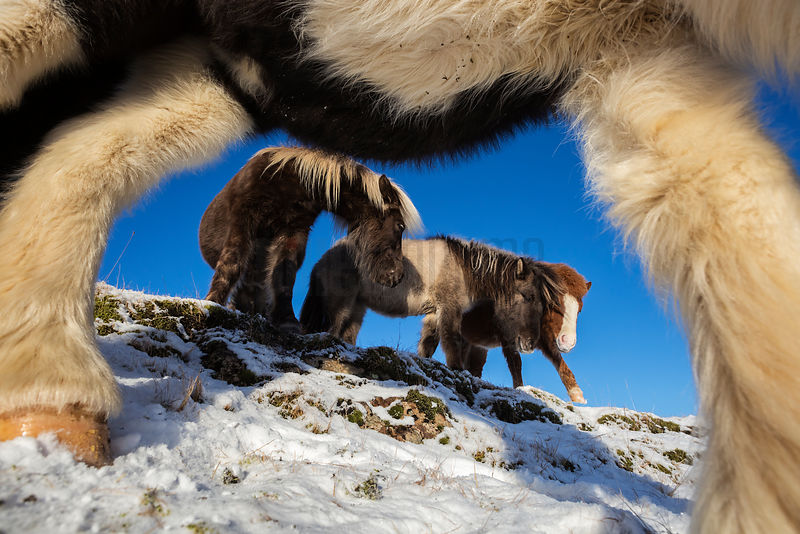 Closeup of Icelandic Horses