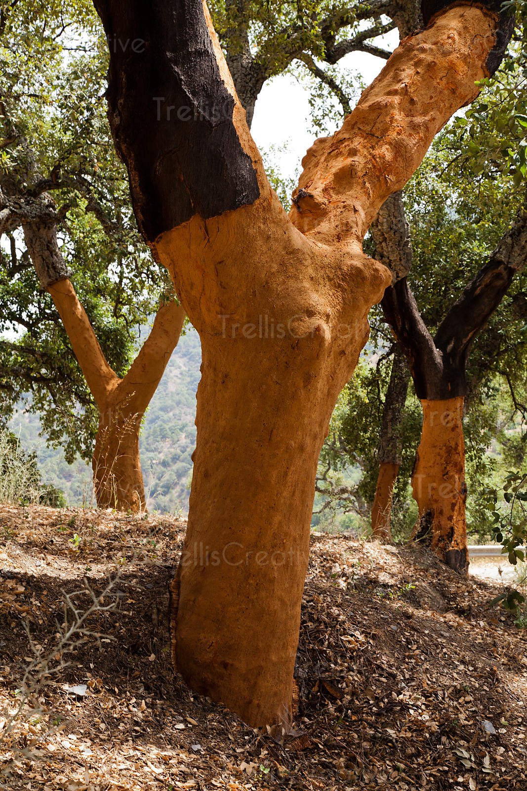 Cork oak trees in Portugal that have been stripped of their bark to make corks