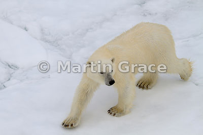 Polar Bear (Ursus maritimus) on sea ice, Storfjorden, Svalbard