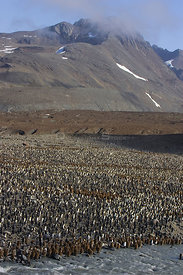 Aerial view of large colony of King Penguins (Aptenodytes patagonicus) with chicks and adults, Saint Andrews Bay, South Georgia