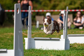 border collie dog jumping over flyball hurdle