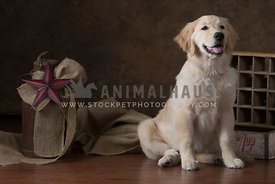 Golden Retriever Puppy in studio with neutral tones