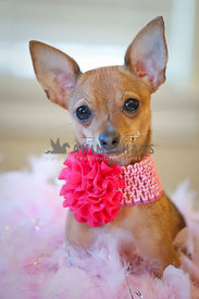 Tiny chihuahua dog with Pink bow sitting on a bed of pink feathe