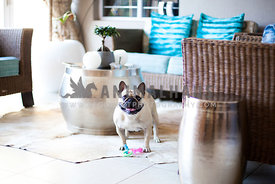 french bulldog in lounge at home with toy looking at camera ready to play