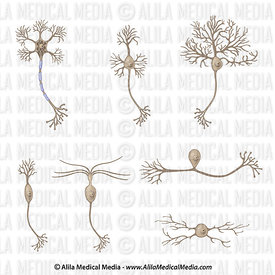 Types of Neurons, unlabeled.