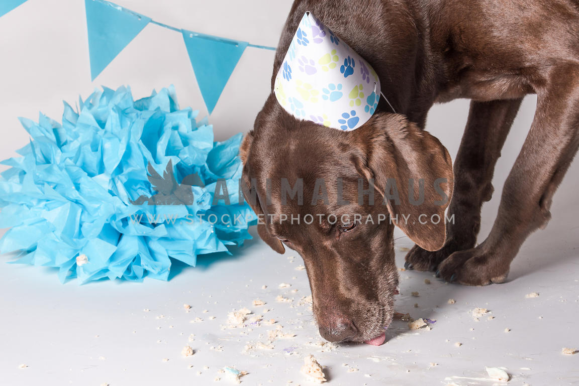 cake smash dog birthday party for chocolate lab