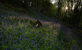 Bluebell Dawn