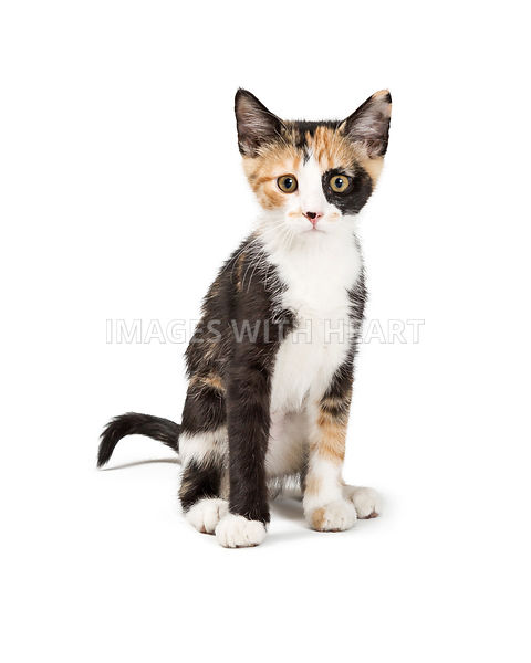 Cute Calico Kitten Sitting Looking Forward Isolated