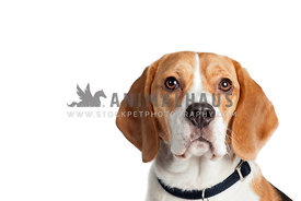 head shot of young beagle on white backdrop