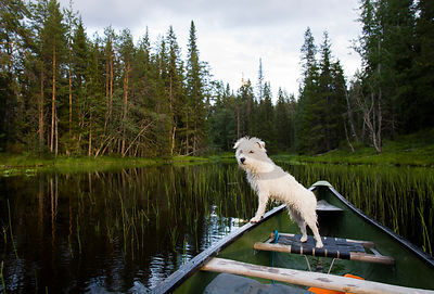 Jack Russell Terrier enjoying paddling