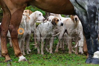 Meynell and South Staffs hounds at the Boylestone meet