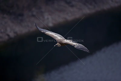 Looking down on Griffon Vulture soaring (Gysp fulvus) soaring,  Spain