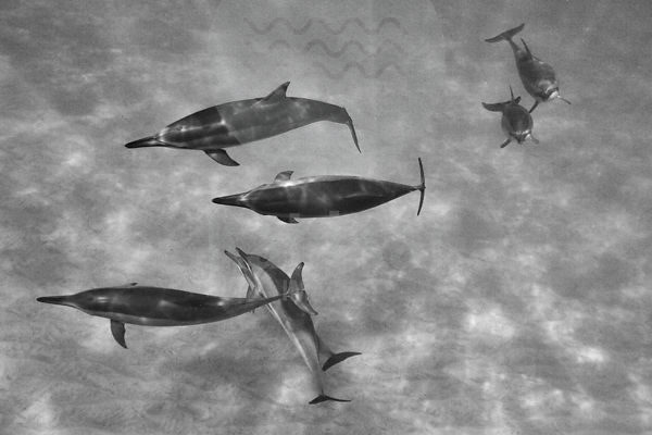 Hawaiian Spinner Dolphins