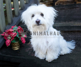 white maltese dog on steps with poinsettia plant