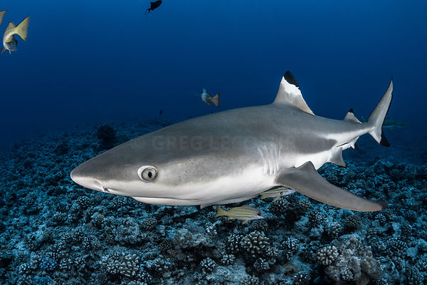 Black tip, French Polynesia, Moorea