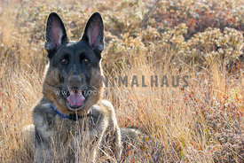 German Shepherd Dogs Sitting in Brown Grass