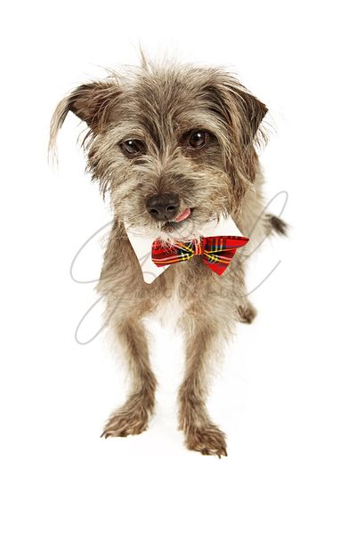 Terrier Dog Wearing Tie Licking Lips