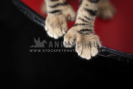 Polydactyl cat paws
