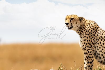 Closeup of Cheetah in Africa With Copy Space