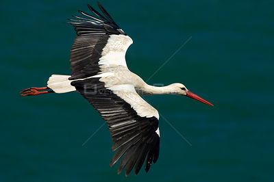 White stork (Ciconia ciconia) in flight, Cabo Sardão (Cape), Alentejo, Natural Park of SW coast, Portugal