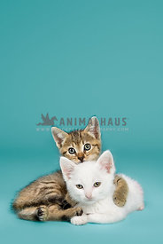 Two kittens cuddling on a blue background