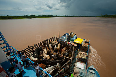River barge transporting cattle and passengers on Rio Maranon, Amazon River Tributarie, Peru, November 2006.