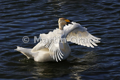 Whooper Swan (Cygnus cygnus) vocalising while flapping its wings in late afternoon sunshine, Dumfries & Galloway, Scotland