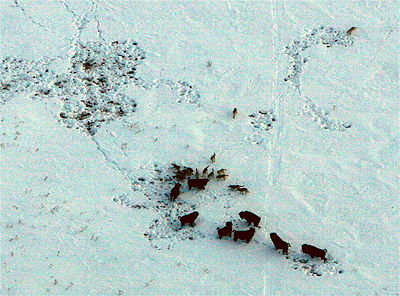 Aerial view of pack of Timber wolves (Canis lupus) after successful Bison (Bison bison) hunt, Arctic circle in Northern Canad...