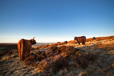 Highland cattle on Curbar Edge