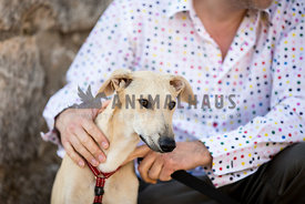 galgo puppy sitting with owner
