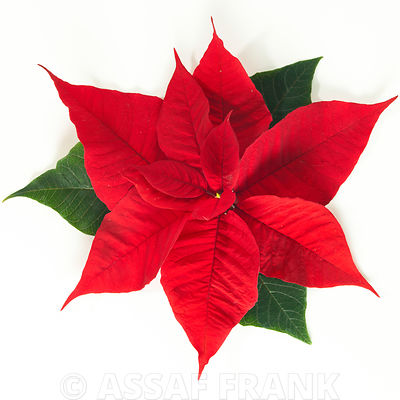 Poinsettia plant on white background