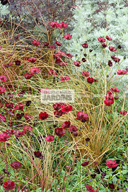 Association : Cosmos atrosanguineus 'Chocamocha' (cosmos chocolat), Carex comans 'Bronze Perfection', Paysagiste : Clive Scot...