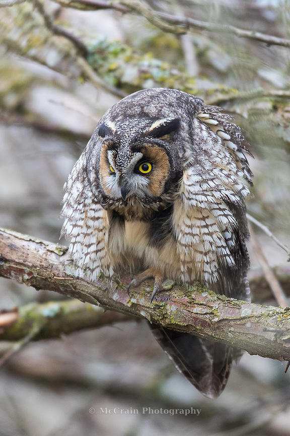 The owl paused in its grooming and looked up for a few seconds before resuming its napping.