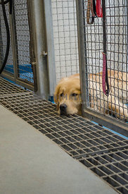 A Golden Retriever dog lays with his head out of his cage at the kennel