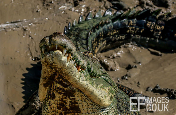 Salt Water Crocodile In The Mud, Close Up, Teeth And Eyes