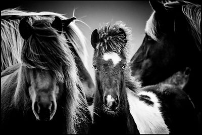 The youngest, Wild horse in Iceland 2015 © Laurent Baheux