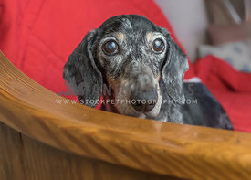 graying dachsund on bench_whole face