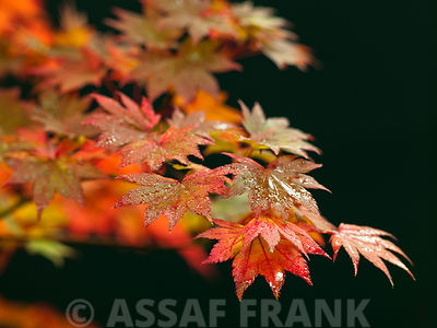 Colorful leaves of maple on black background