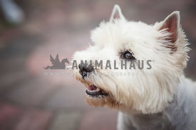 Groomed smiling Westhighland White Terrier Portrait
