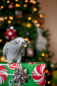 African grey parrot sitting on christmas gift